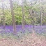 Wanstead Park you beauty bluebells